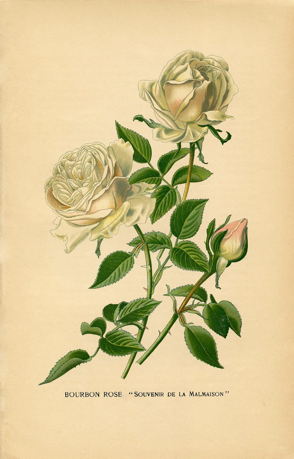 10 Free Vintage Roses Images - Gorgeous! - The Graphics Fairy - Free Printable Roses