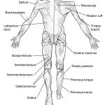 Coloring Pages : Coloring Pages Human Anatomy Futurama Me Remarkable   Free Printable Anatomy Pictures