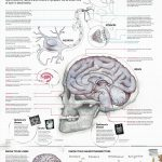 Free Anatomy Posters Download   Anatomical Poster   Free Printable Anatomy Pictures