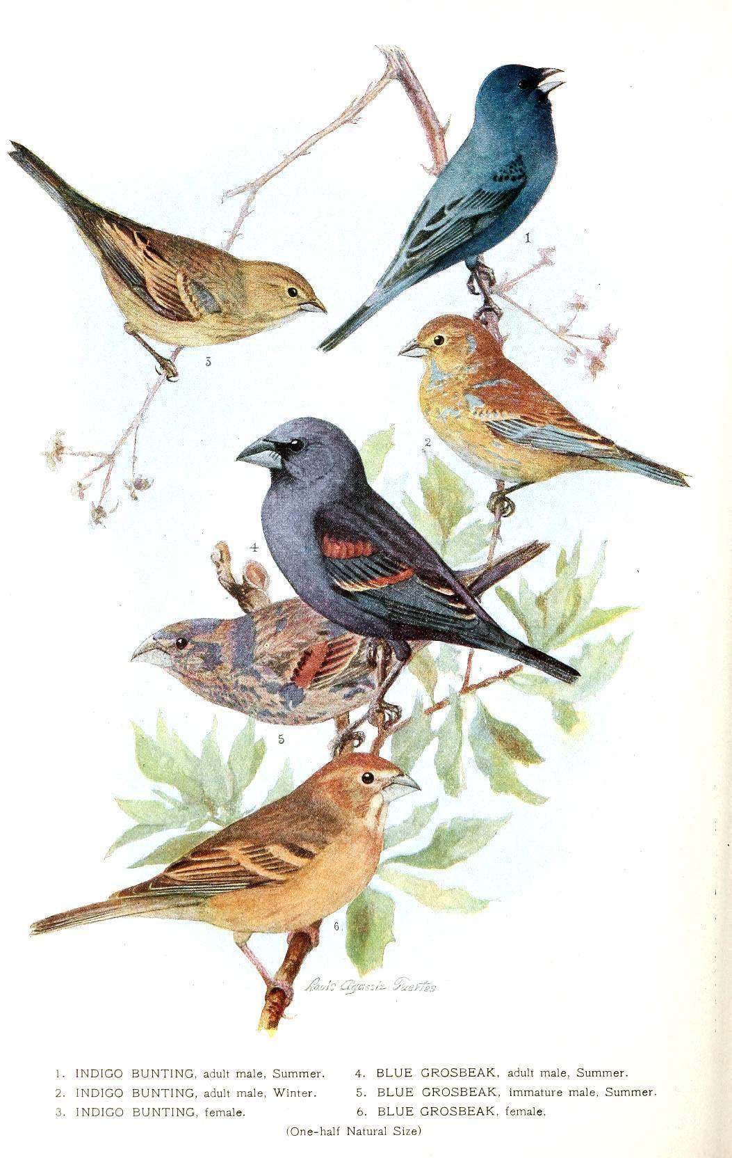 Free Printable - Bird - Indigo Grossbeak | Birds & Cages | Vintage - Free Printable Images Of Birds