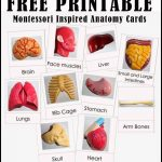 Free Printable Human Anatomy Cards | Science Resources For   Free Printable Anatomy Pictures