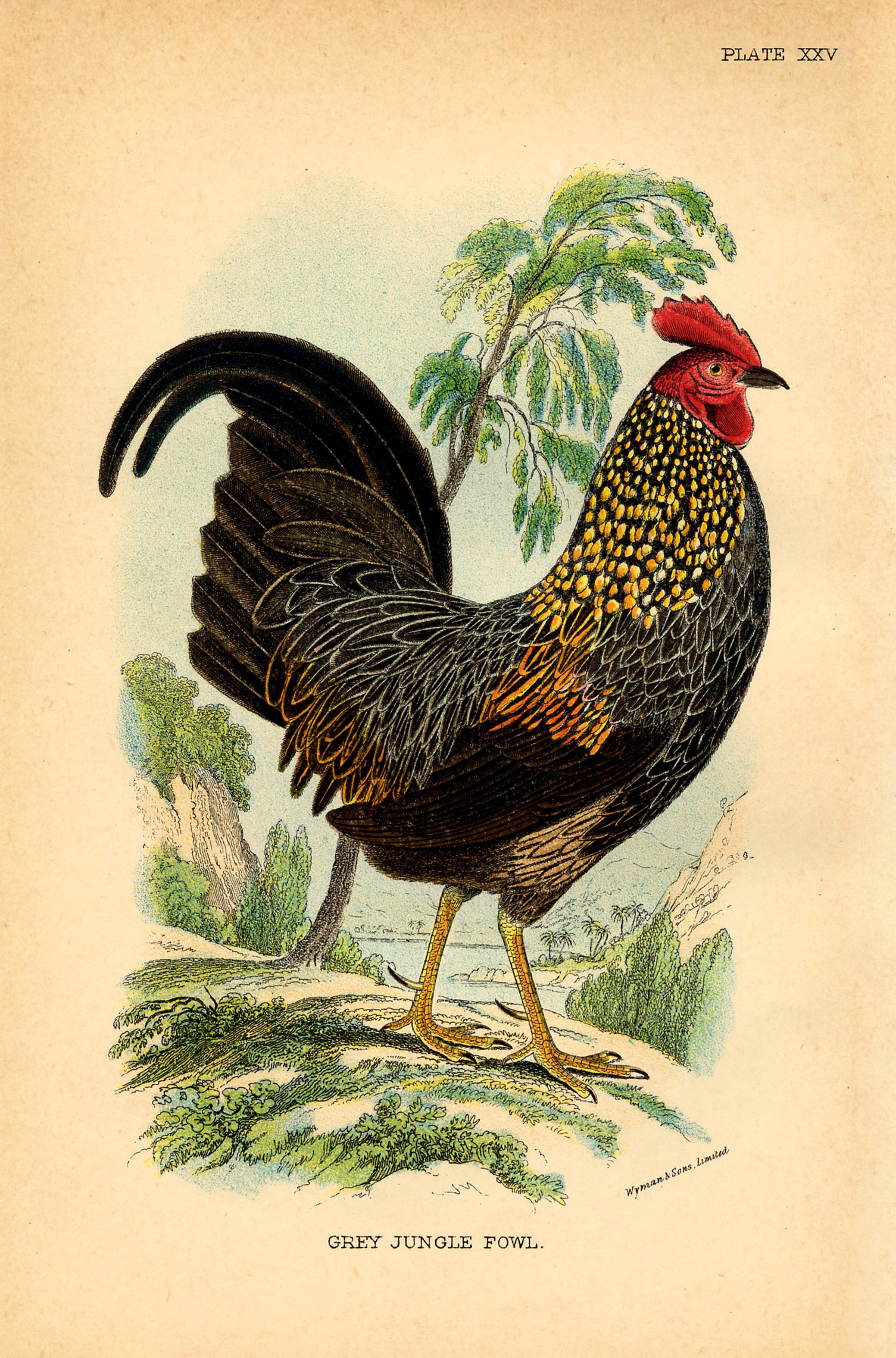 Gorgeous Rooster Instant Art Printable - The Graphics Fairy - Free Printable Pictures Of Roosters