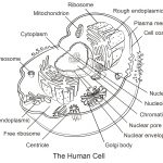 Human Cell Coloring Page | Free Printable Coloring Pages   Free Printable Cell Worksheets