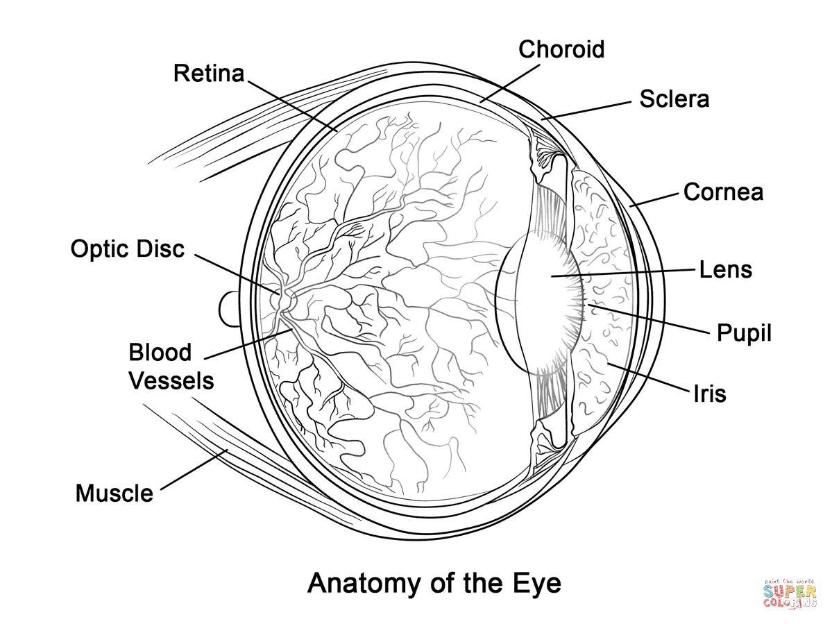 Human Eye Anatomy Coloring Page | Free Printable Coloring Pages - Free Anatomy Coloring Pages Printable