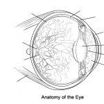 Human Eye Anatomy Worksheet Coloring Page | Free Printable Coloring   Free Printable Anatomy Pictures
