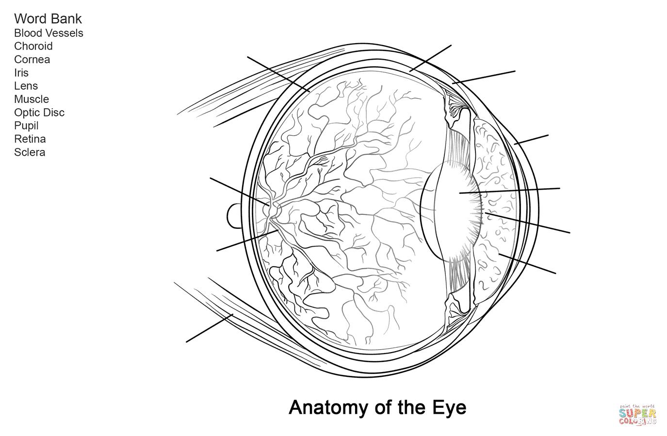 Human Eye Anatomy Worksheet Coloring Page | Free Printable Coloring - Free Printable Anatomy Pictures