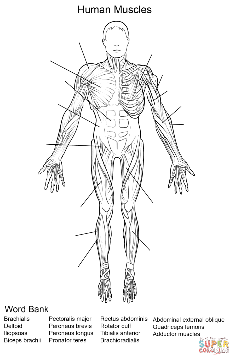 Human Muscles Front View Worksheet Coloring Page | Free Printable - Free Printable Human Anatomy Worksheets