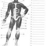 Label Muscles Worksheet | Body Muscles | Pinterest | Muscular System   Free Printable Muscle Flashcards