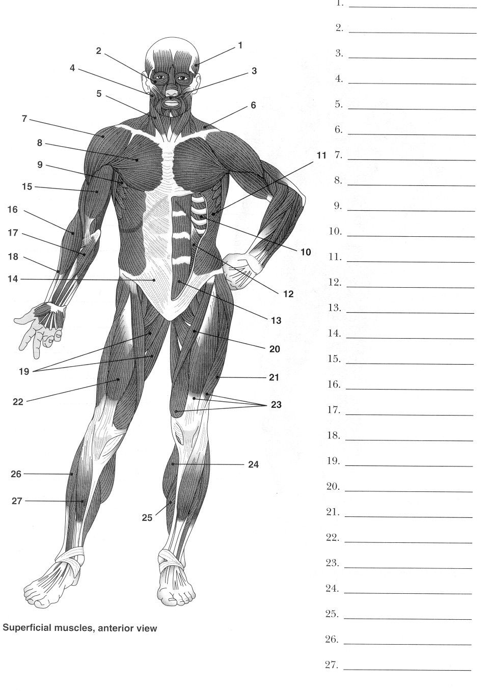 Label Muscles Worksheet | Body Muscles | Pinterest | Muscular System - Free Printable Muscle Flashcards