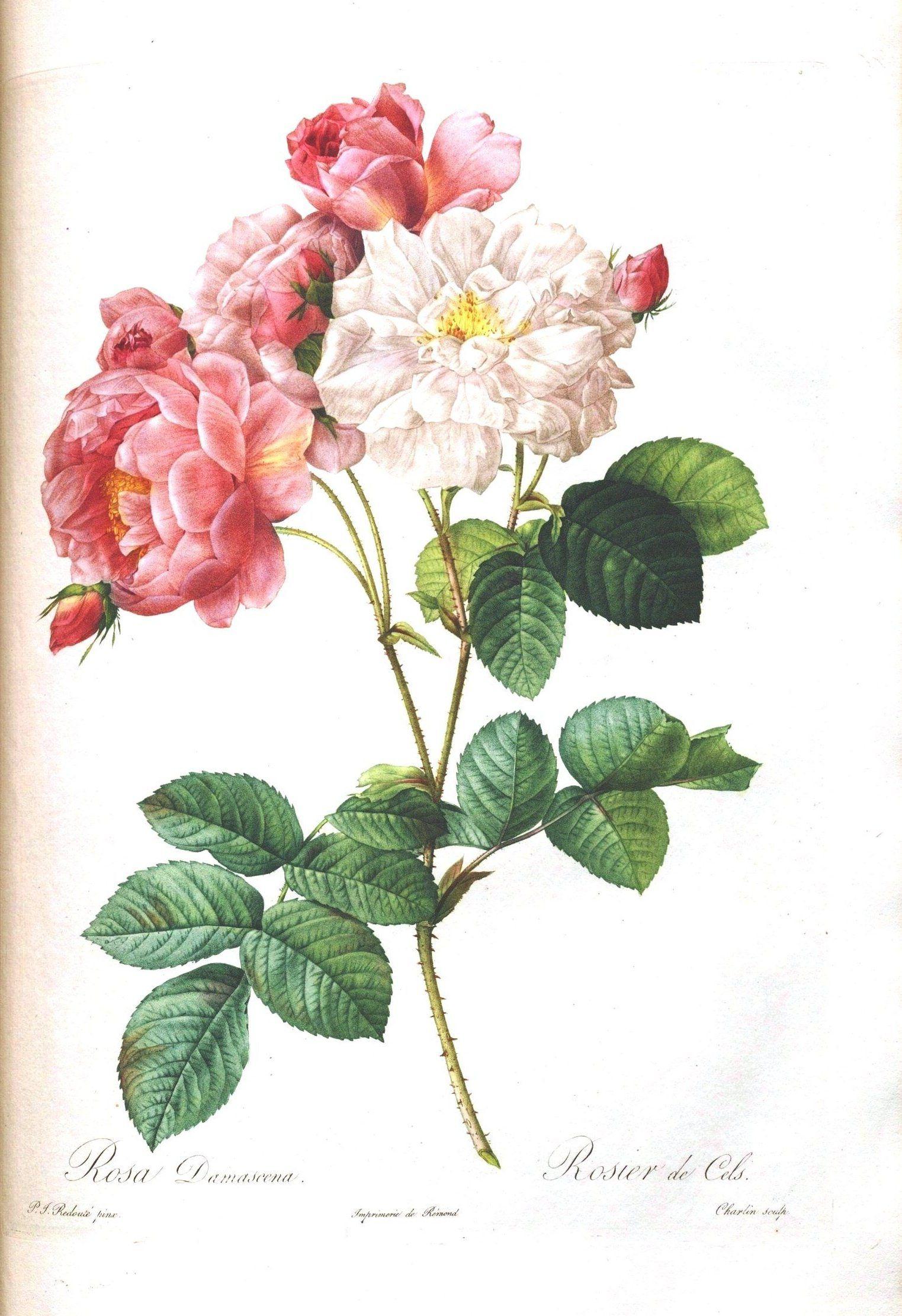 Loads Of Them!!! Free!!! Vintage Printable – Botanical – 7 | Vintage - Free Printable Roses