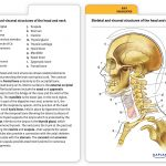 Muscle Anatomy Flash Cards And Anatomy Flash Cards Printable   Free Printable Muscle Flashcards