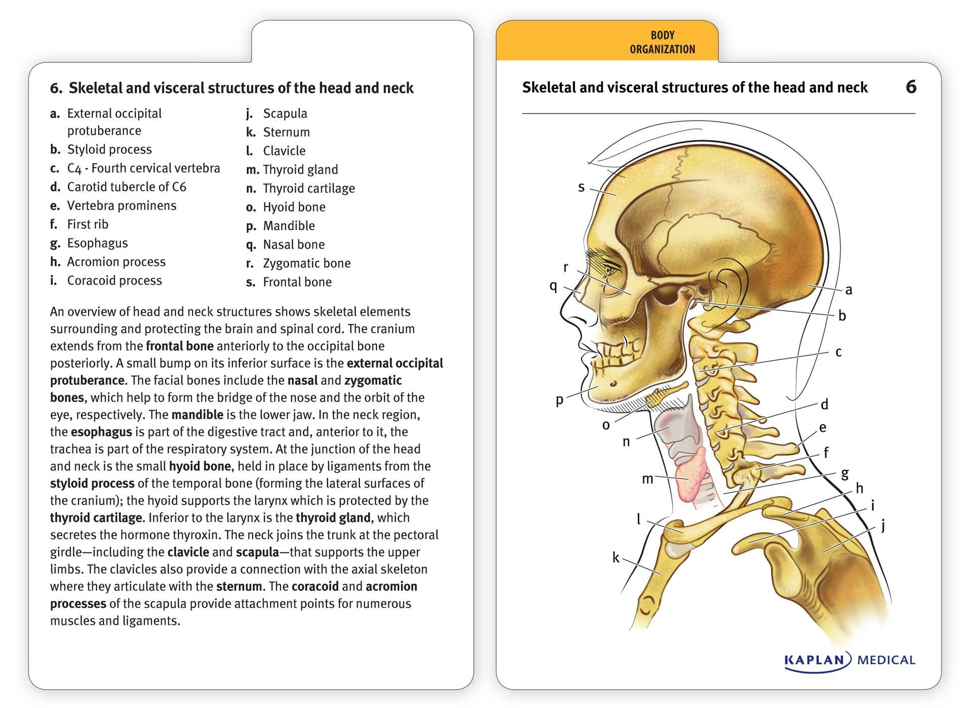 Muscle Anatomy Flash Cards And Anatomy Flash Cards Printable - Free Printable Muscle Flashcards