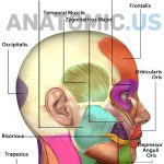 Muscles Of Face   Anatomy Flashcards   Anatomic Muscles Of Face   Free Printable Muscle Flashcards