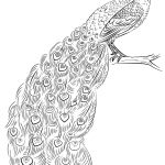 Peacock Coloring Pages Page Free Printable 755×1153 Attachment   Free Printable Peacock Pictures